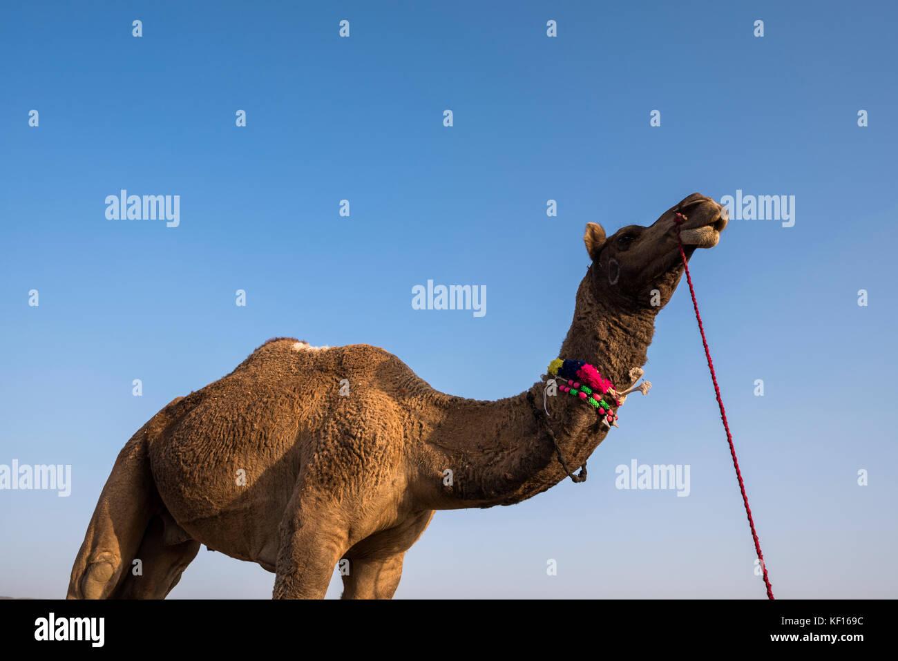 Pushkar, Indien. 24. Oktober, 2017. pushkar Camel fair. Porträt eines Kamels. Credit: ravikanth Kurma/alamy Stockbild