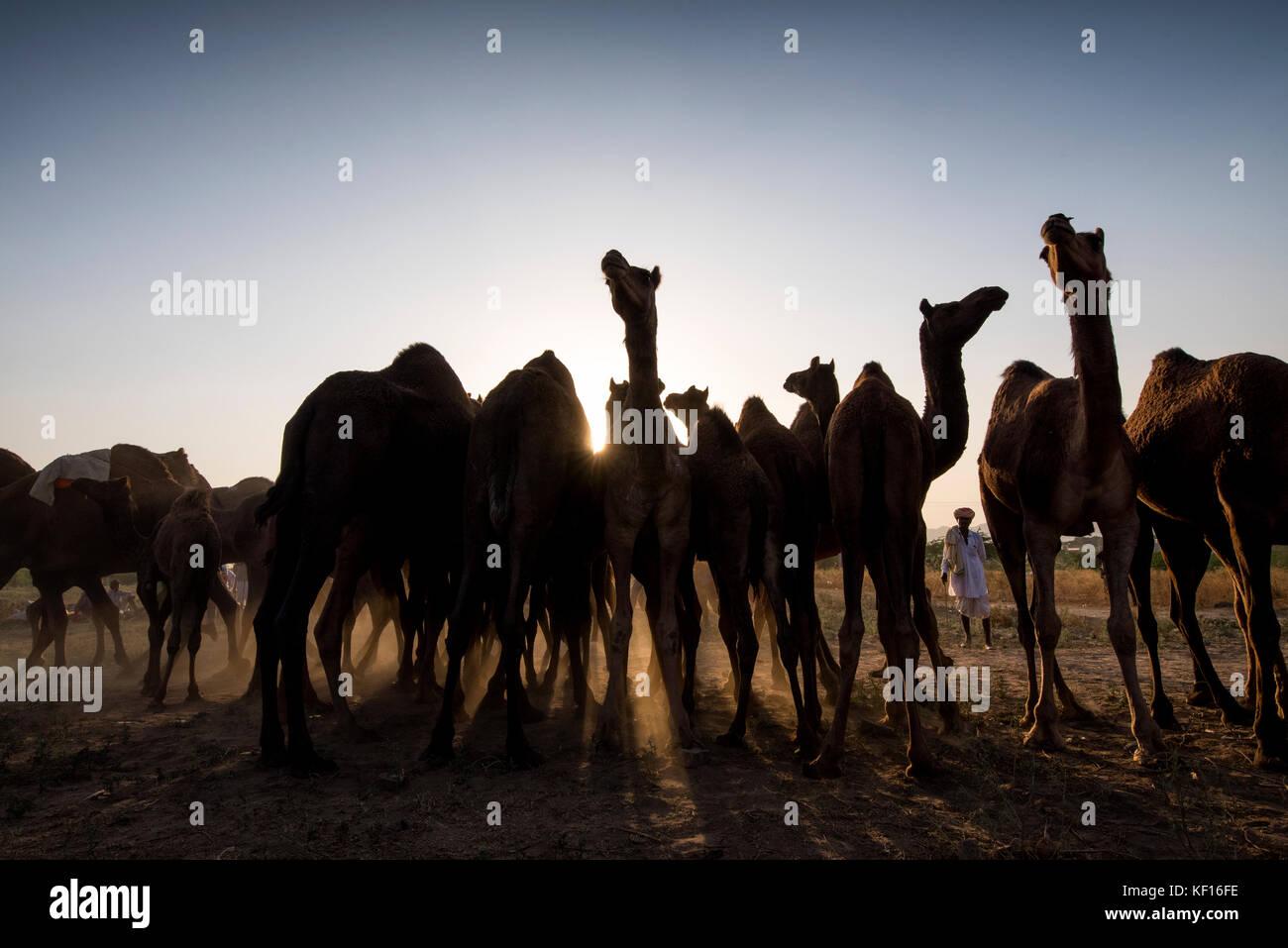 Pushkar, Indien. 24. Oktober, 2017. pushkar Camel fair. Eine Herde Kamele. Credit: ravikanth Kurma/alamy leben Nachrichten Stockbild