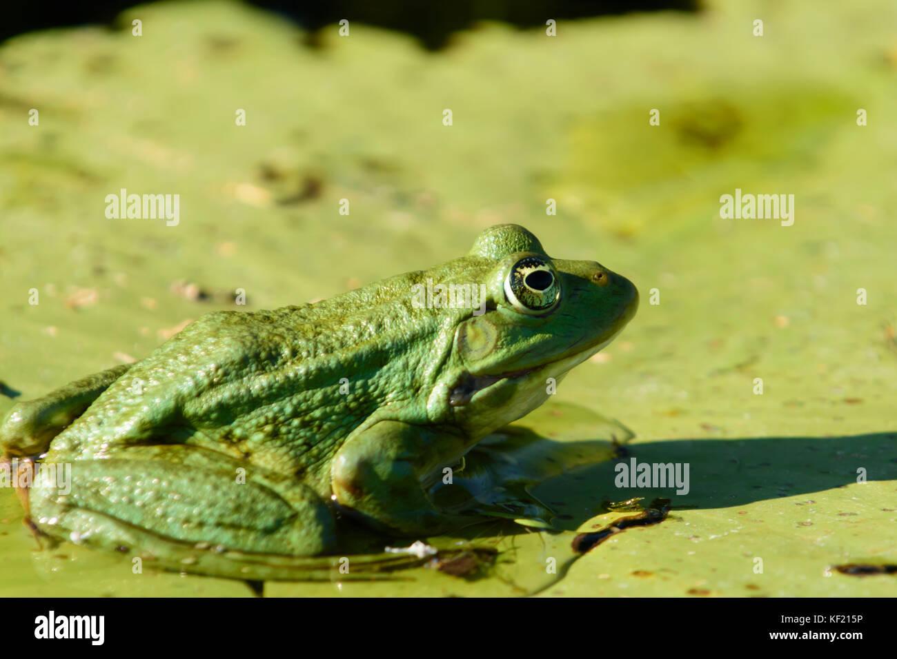Donaudelta in Rumänien:: wasserfrosch (rana Lessonae) Stockbild