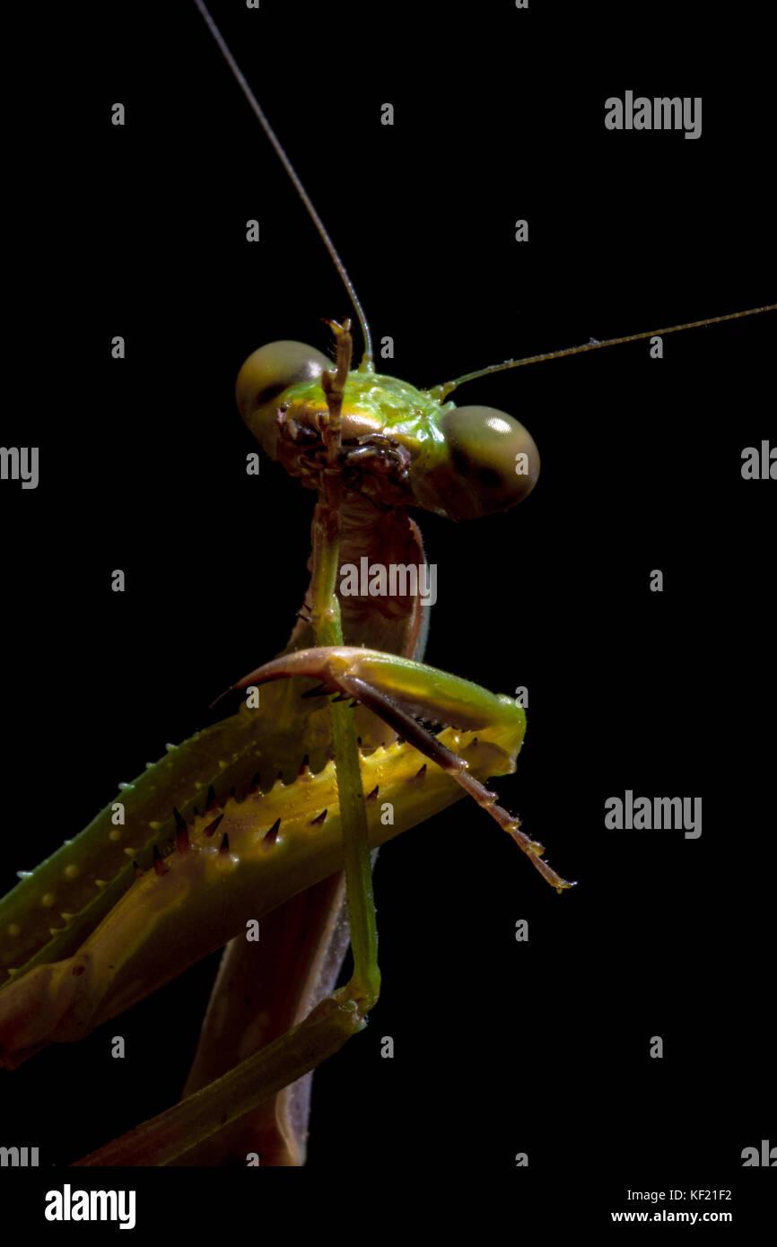 Mantis, Makrofotografie gemeinsamen Green Mantis oder beten Mantis auf schwarzem Hintergrund isoliert. Stockbild