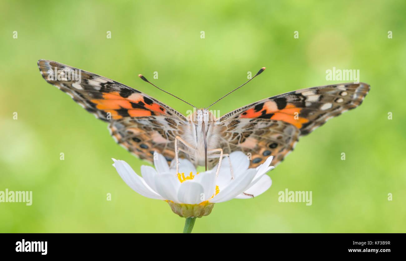 Ein Distelfalter Schmetterling Futterung Auf Einem Weissen Daisy
