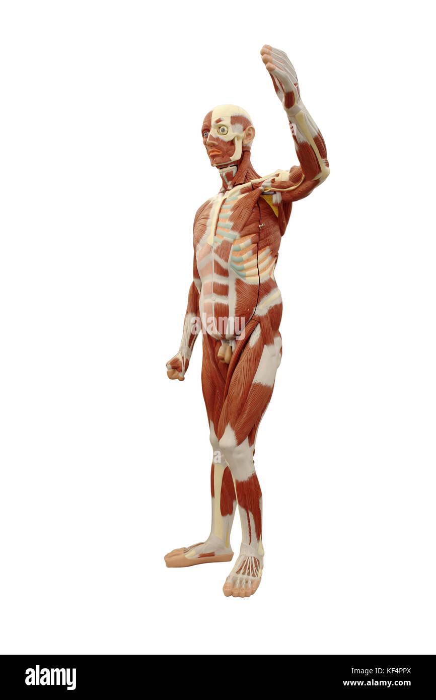 Menschliche Anatomie - männliches Modell Übersicht Muskulatur auf ...