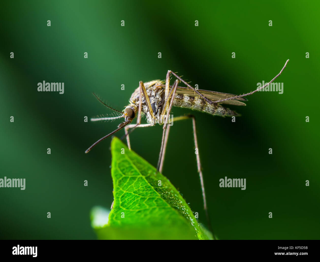 Gelbfieber, Malaria oder zika Virus Infektion - moskito Insekt auf Blatt Stockbild