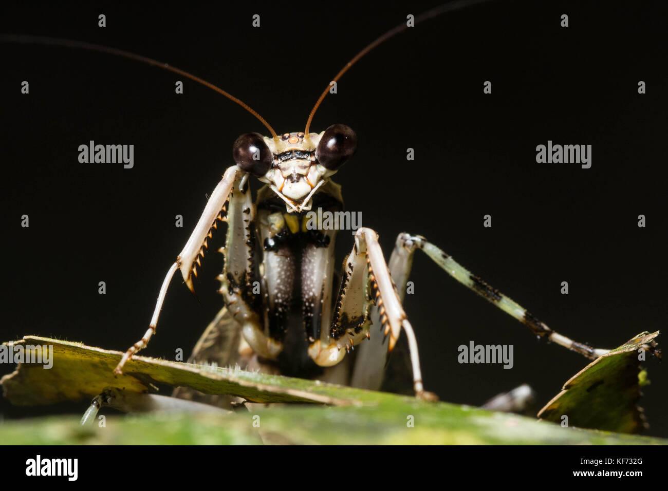 Eine flechte Mantis (Theopompa sp.) von Borneo. Stockbild