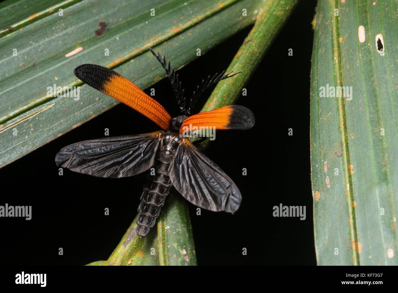 Ein Netz geflügelte Käfer genau in dem Moment fotografiert er seine Flügel geöffnet Flug zu Stockbild