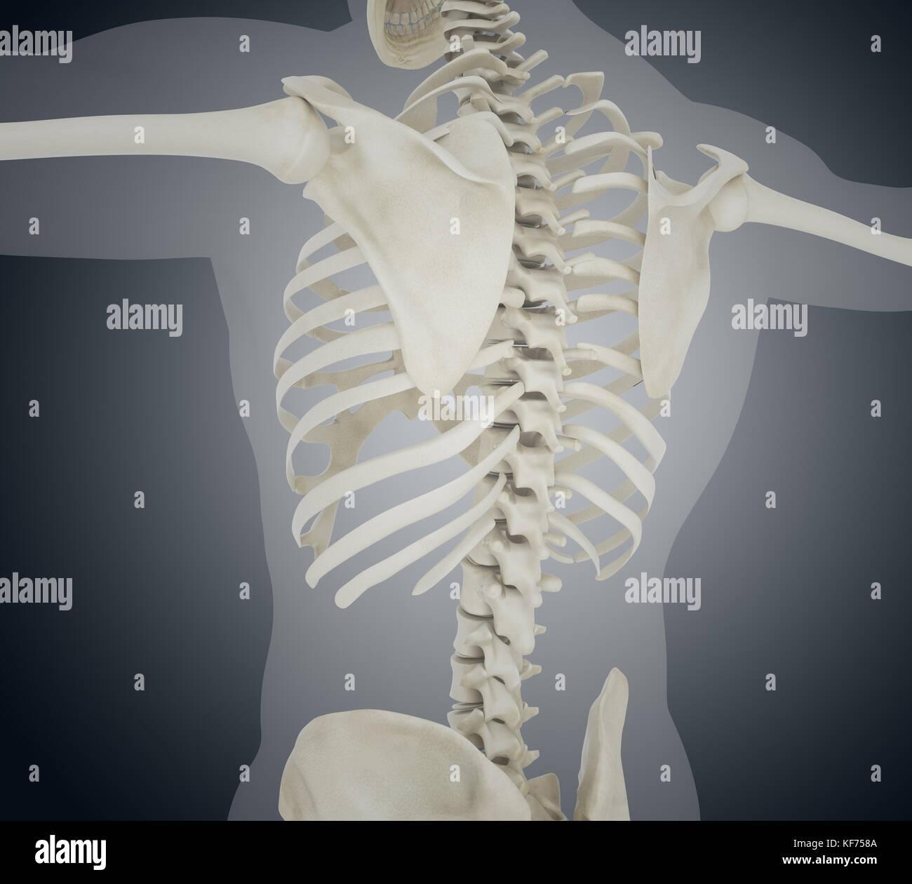 3d-Llustration. Menschliches Skelett zurück, Skelett Anatomie ...
