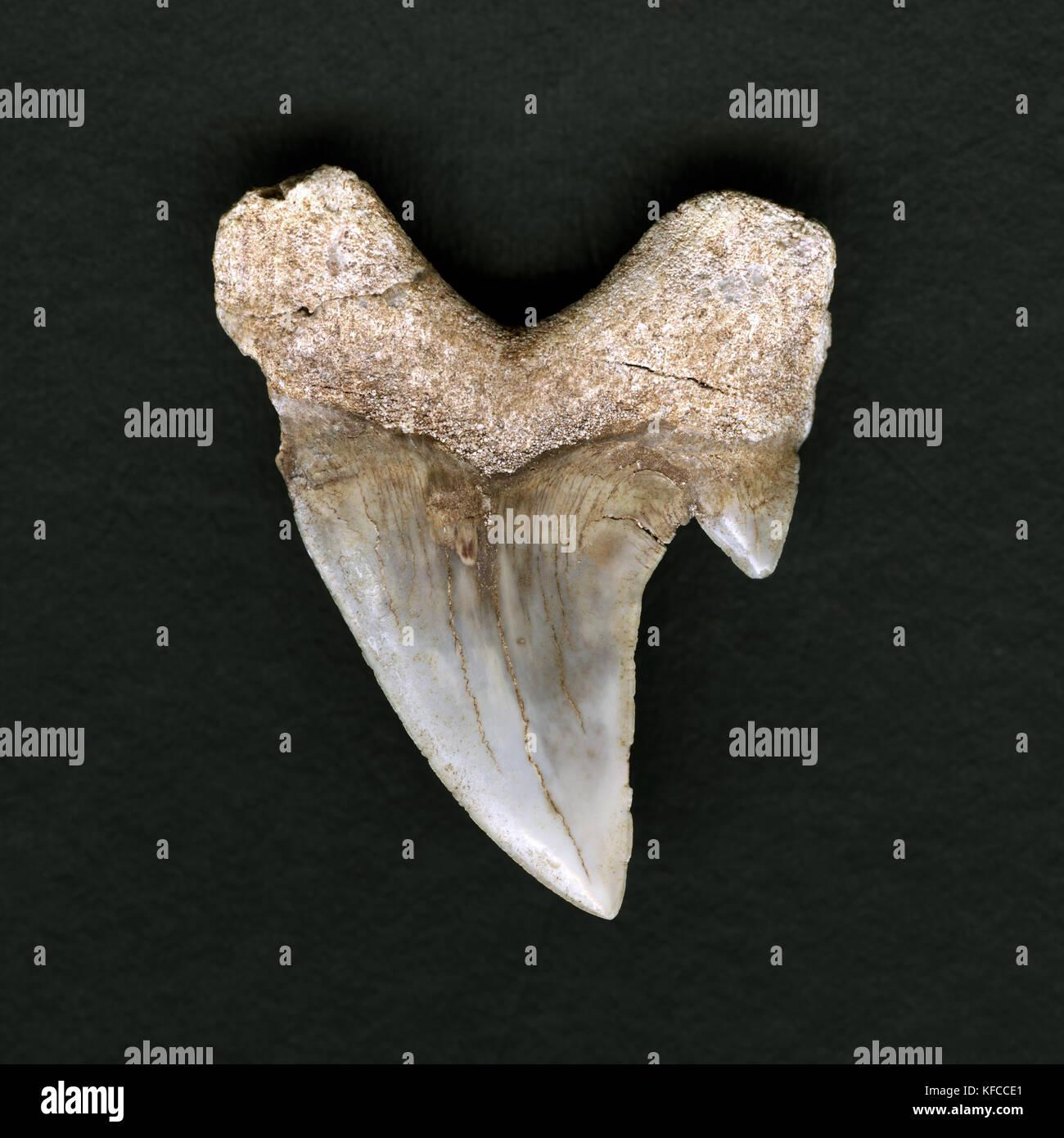 Usa, Kalifornien, in der Nähe eines versteinerten sandshark Zahn Stockbild