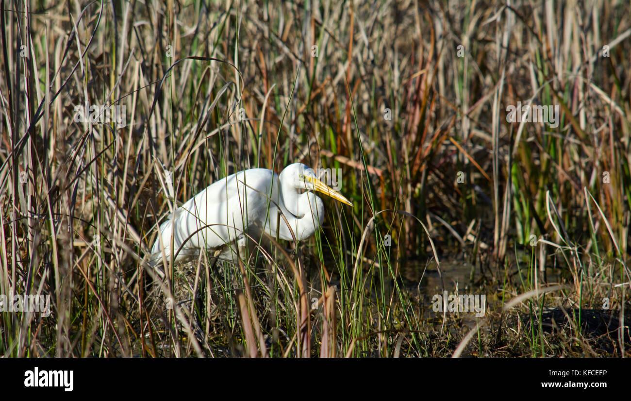 Eine australische Silberreiher auf der Suche nach Nahrung unter dem hohen Gras. Stockbild