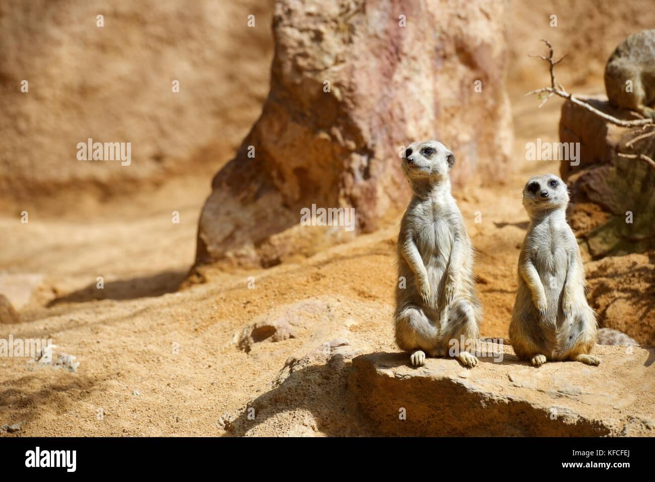 Erdmännchen im Zoo. Tier in Gefangenschaft fotografiert. Valencia, Spanien. Stockfoto