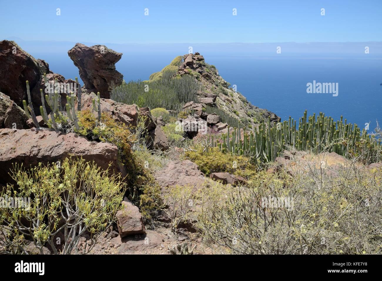 Kanaren Wolfsmilch/hercules Club (euphorbia Canariensis) und anderen Euphorbien auf der vulkanischen Küste Stockbild