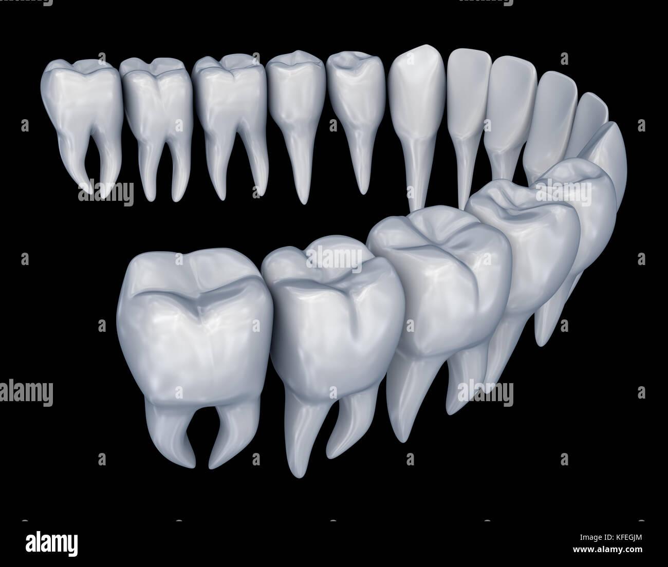 Menschliche Zähne 3d-instalation. medizinisch genaue Zahnheilkunde ...