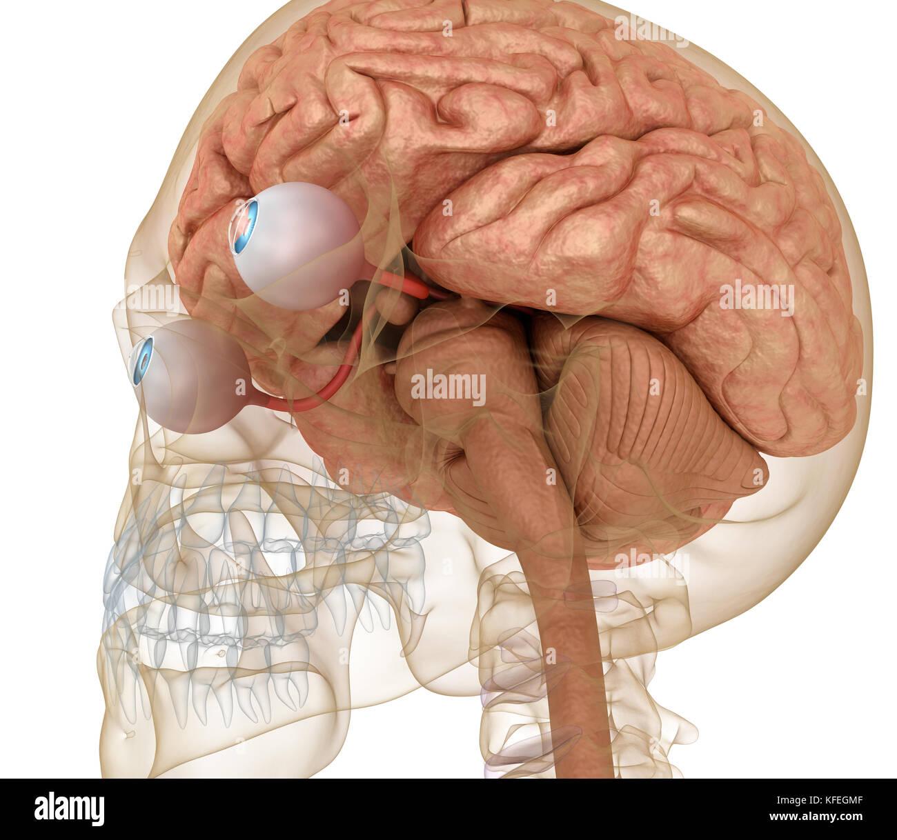 Auge Anatomie und Skelett isoliert auf Weiss. 3D-Rendering Stockfoto ...