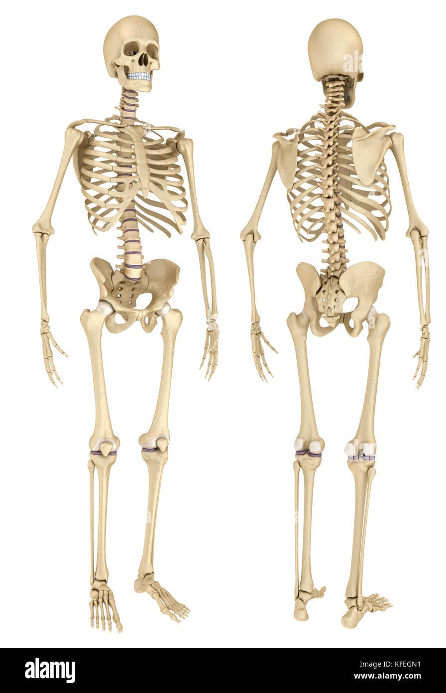Gemütlich Skelett Mit Markiertem Knochen Zeitgenössisch - Anatomie ...