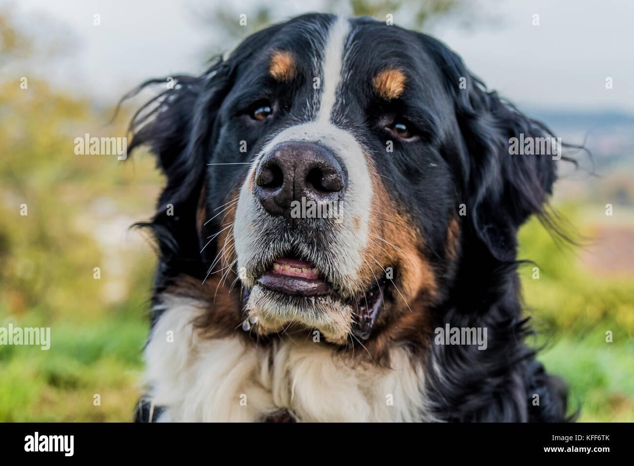 Berner Sennenhund portrait Stockbild