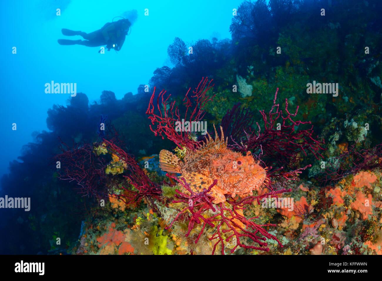 Orange Scorpionfish Stockfotos & Orange Scorpionfish Bilder - Alamy