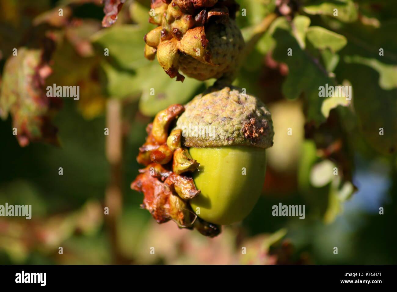 Eichel mit Galle, pflanzengall Wucherung Stockfoto, Bild