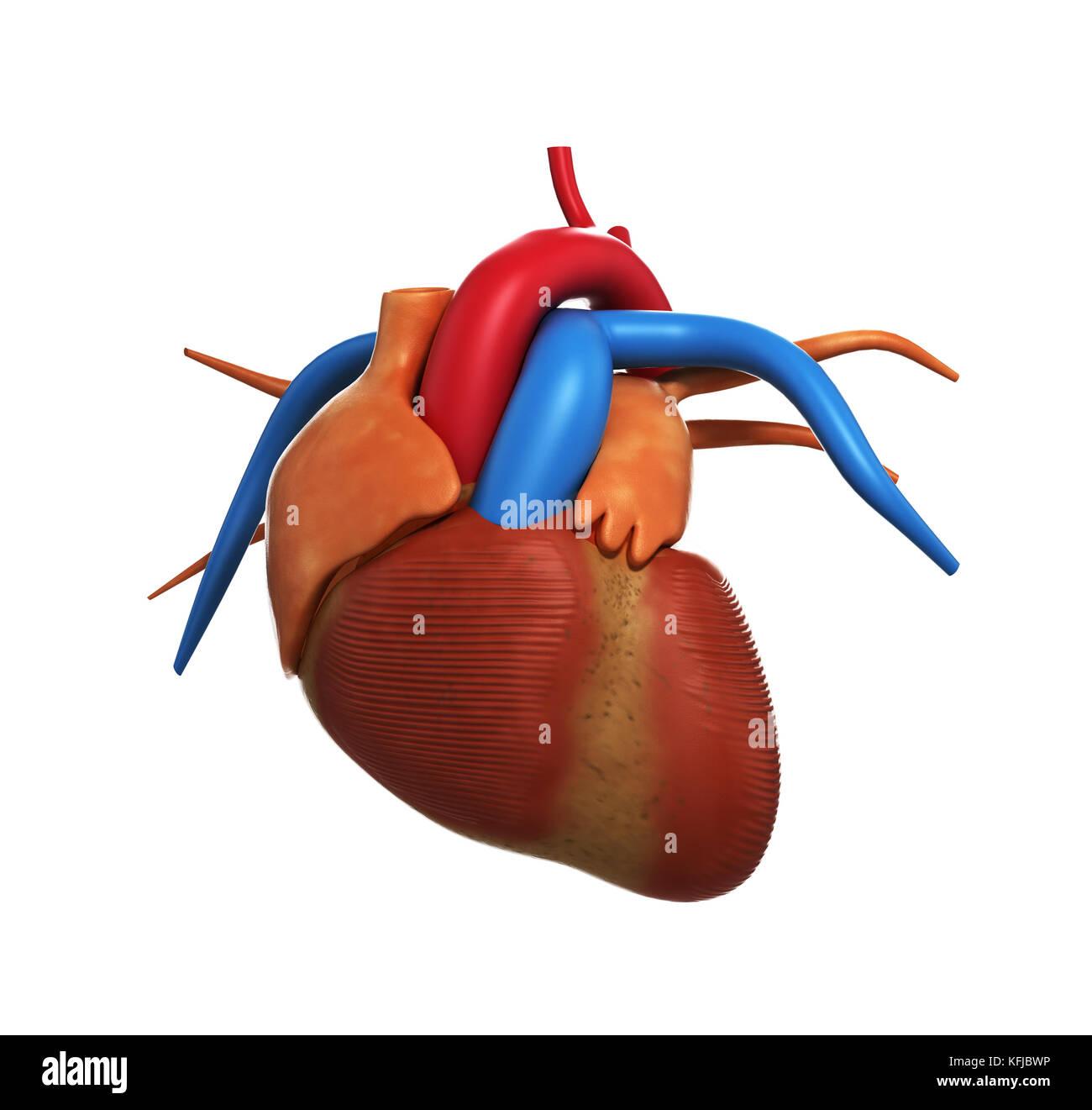 Menschliche Herz Anatomie der menschlichen Herzen auf Weiß 3D-Render ...