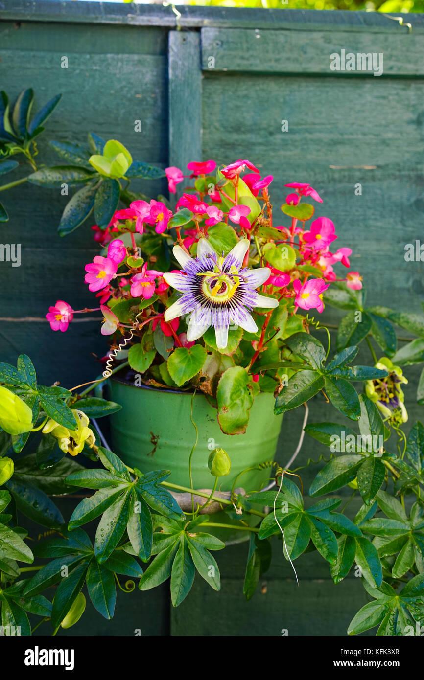 passifloraceae stockfotos passifloraceae bilder alamy. Black Bedroom Furniture Sets. Home Design Ideas