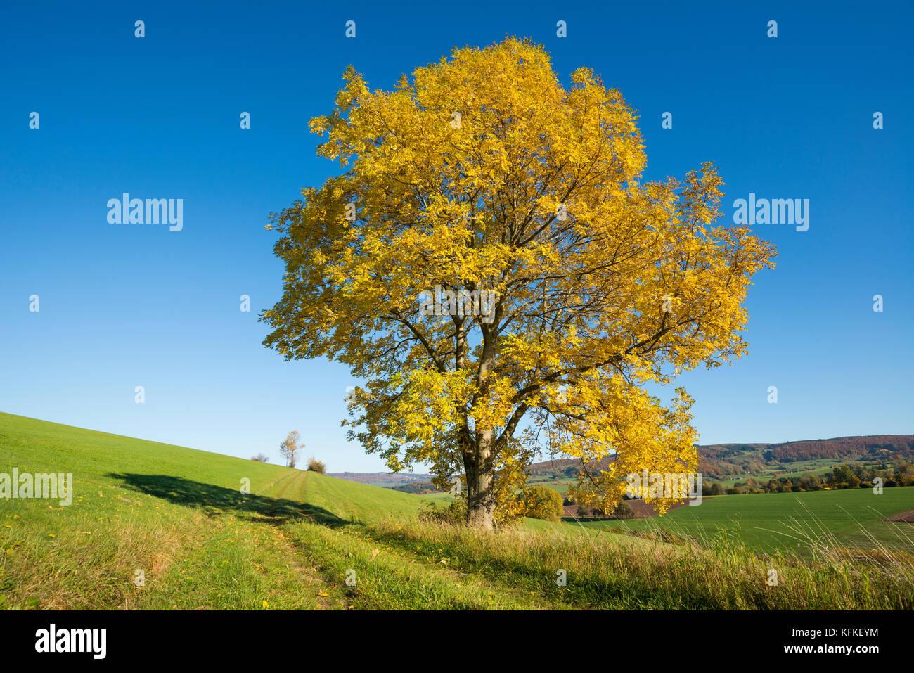 Europäische Esche (Fraxinus excelsior), einsamer Baum im Herbst, Biosphärenreservat Rhön, Hessen Stockbild