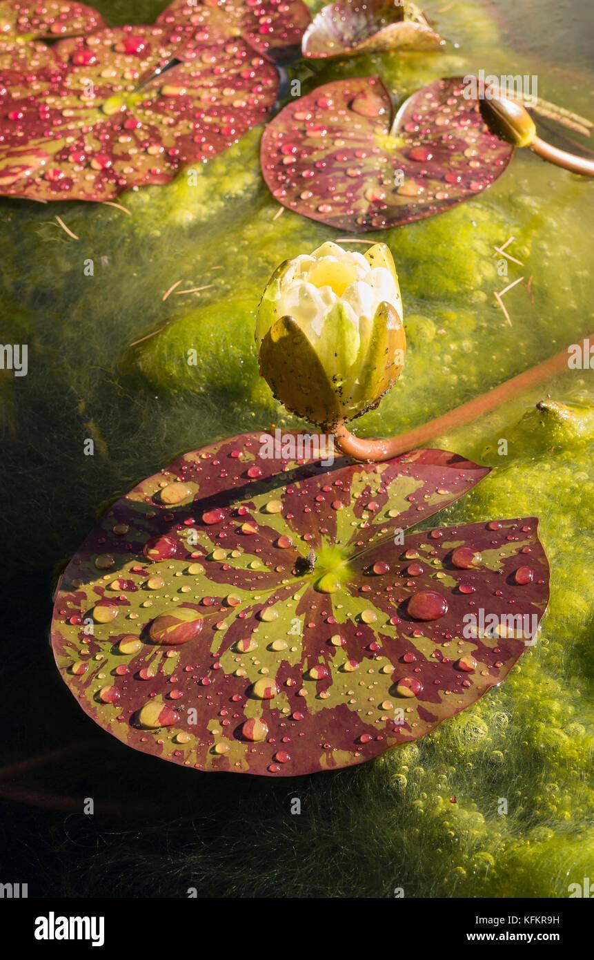 Brilliant Pool Im Kleinen Garten Dekoration Von Water Lily Pads Und Blütenknospe Auf Einen