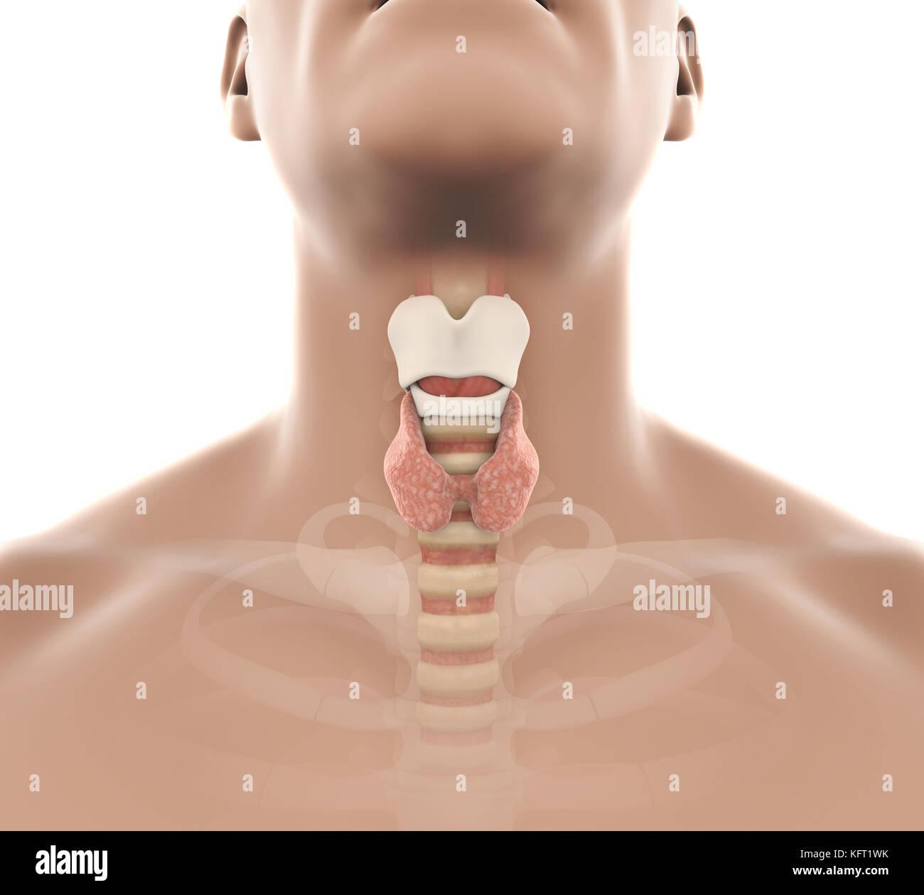 Ungewöhnlich Anatomie Des Mundes Und Der Lippen Ideen - Menschliche ...