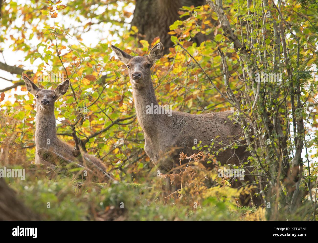 Red deer Hinden auf dem Alarm in Wäldern, Wales, UK. Stockbild
