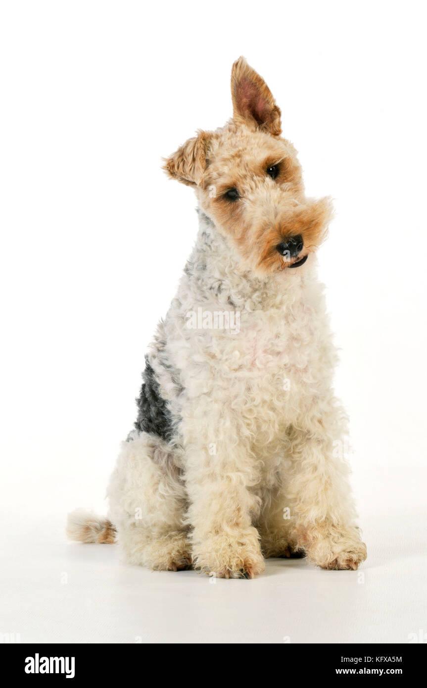 Hund. Wire Fox Terrier Stockfoto, Bild: 164691904 - Alamy