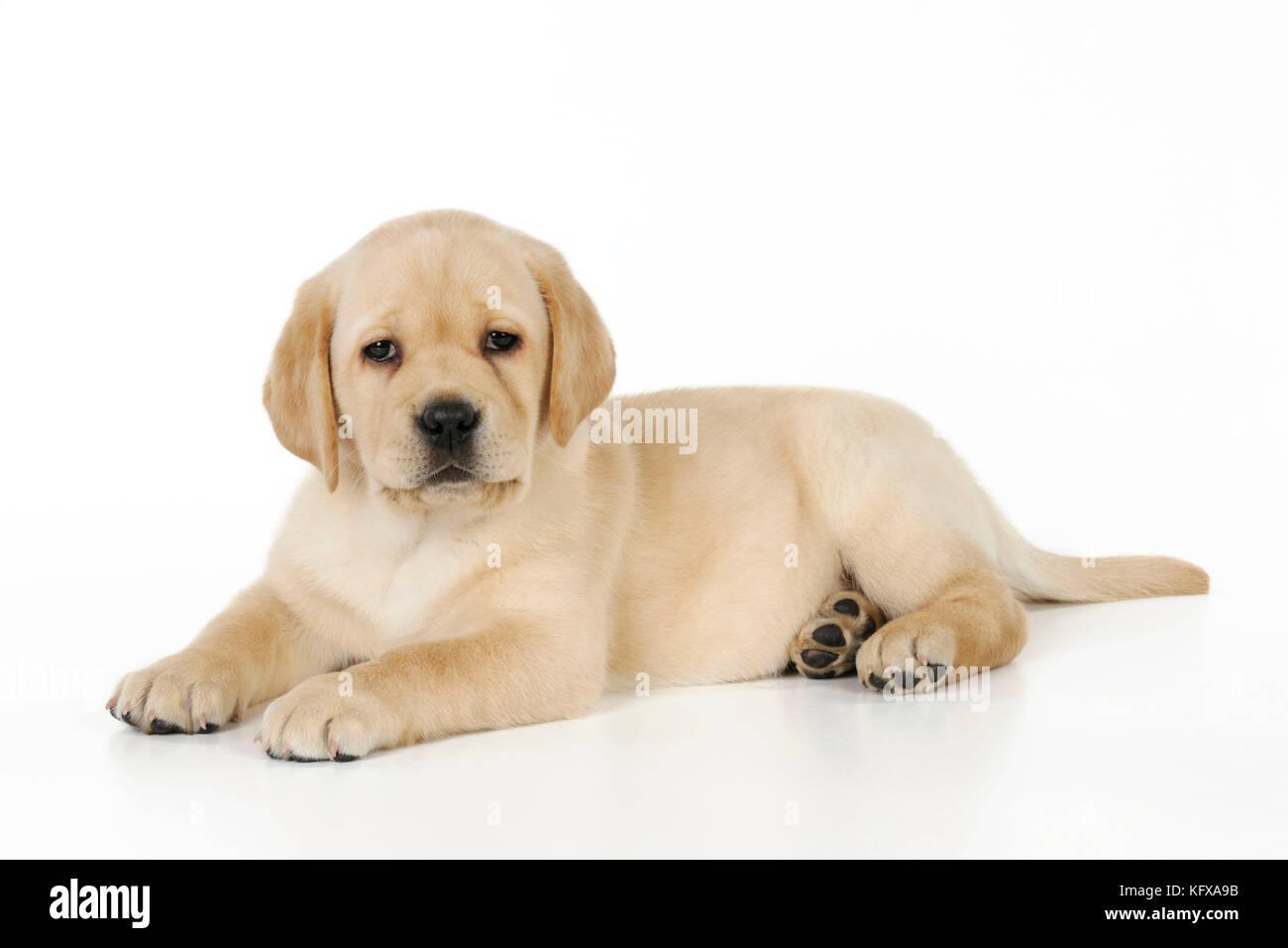 Hund Gelbe Labrador Welpe Liegend Stockfotografie Alamy