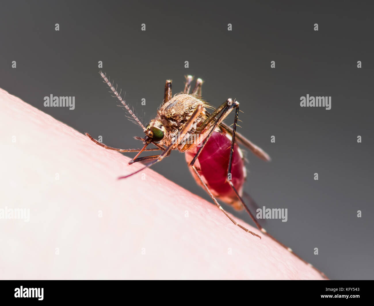 Gelbfieber, Malaria oder zika Virus infizierte Mücken Insekten Makro Stockbild