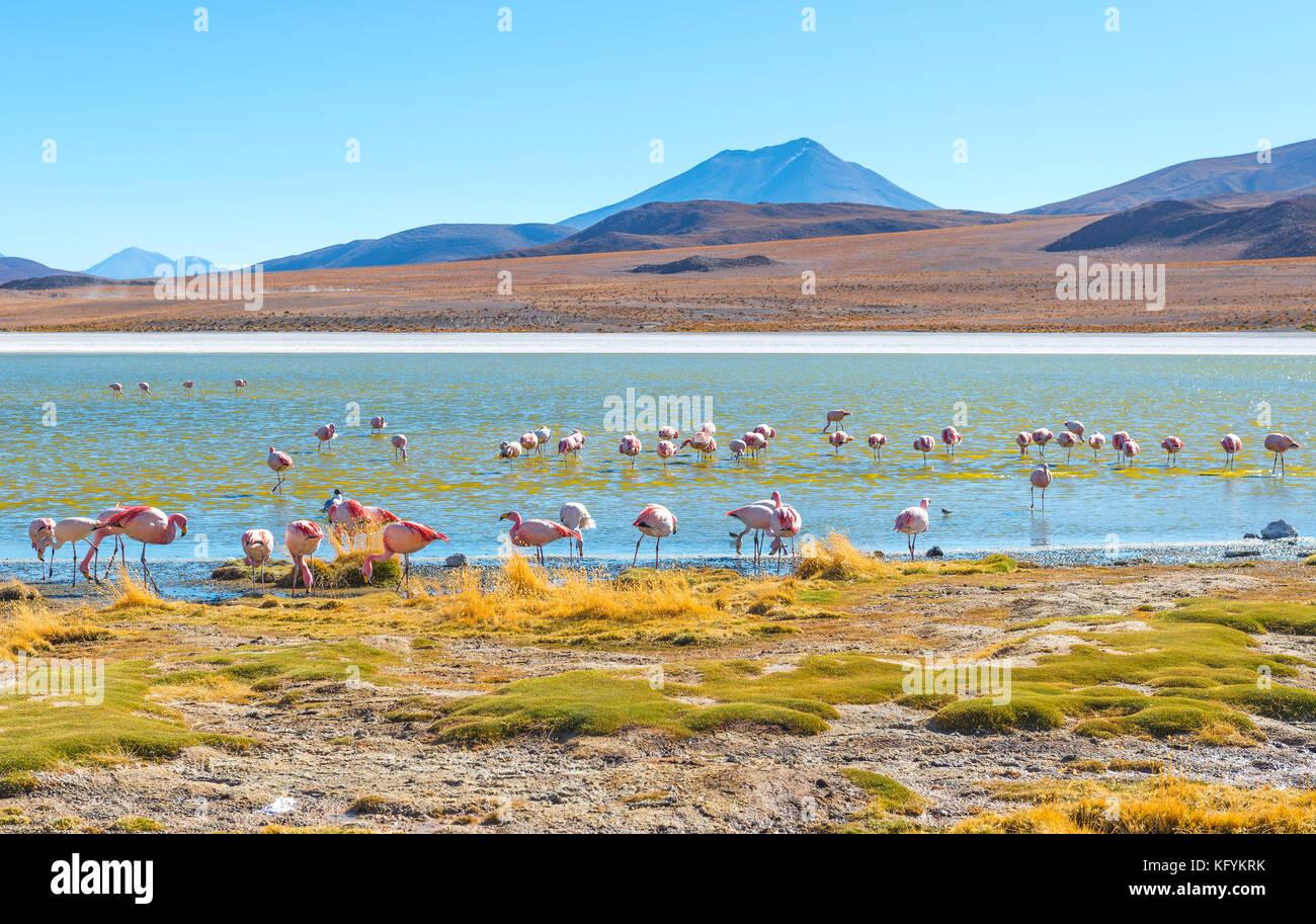 Chilenische und James' Flamingos im hedionda Lagune zwischen Uyuni Salzsee (Salar de Uyuni) und die Atacama Stockbild