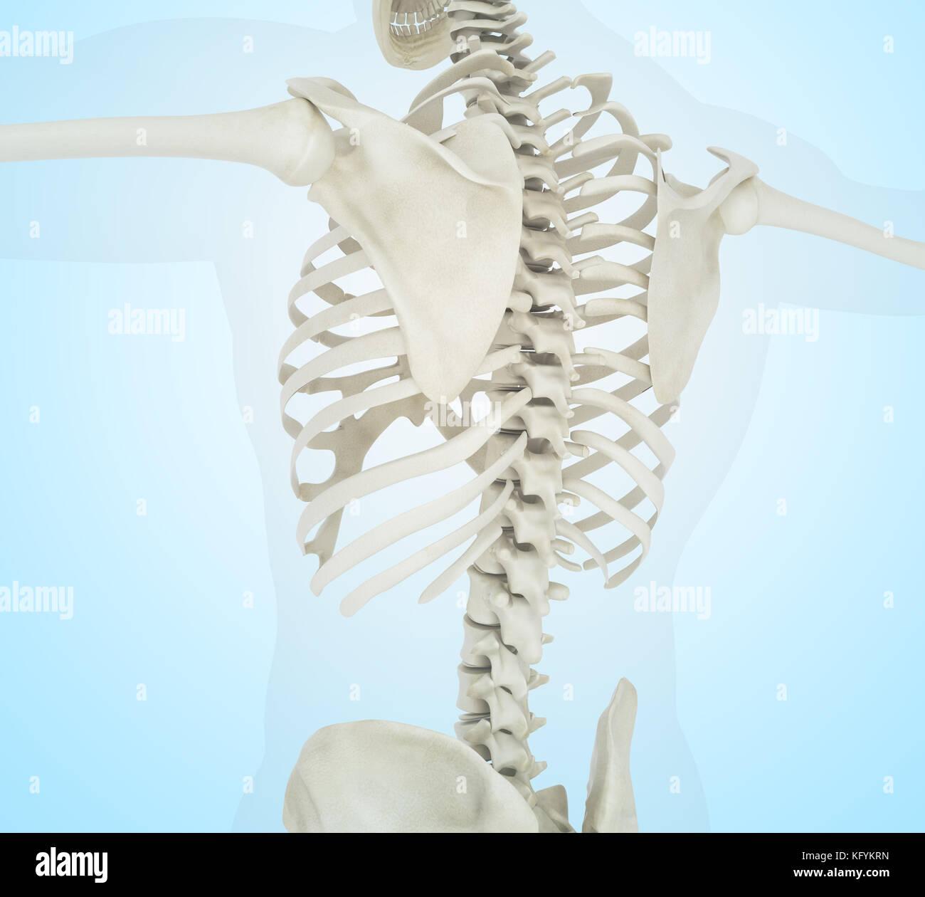Human Skeleton Neck Spine Vertebra Stockfotos & Human Skeleton Neck ...