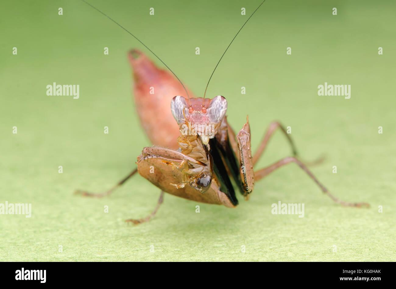 Boxer mantis Fütterung auf Roach. braun Gottesanbeterin Nymphe. Malaysia Stockbild