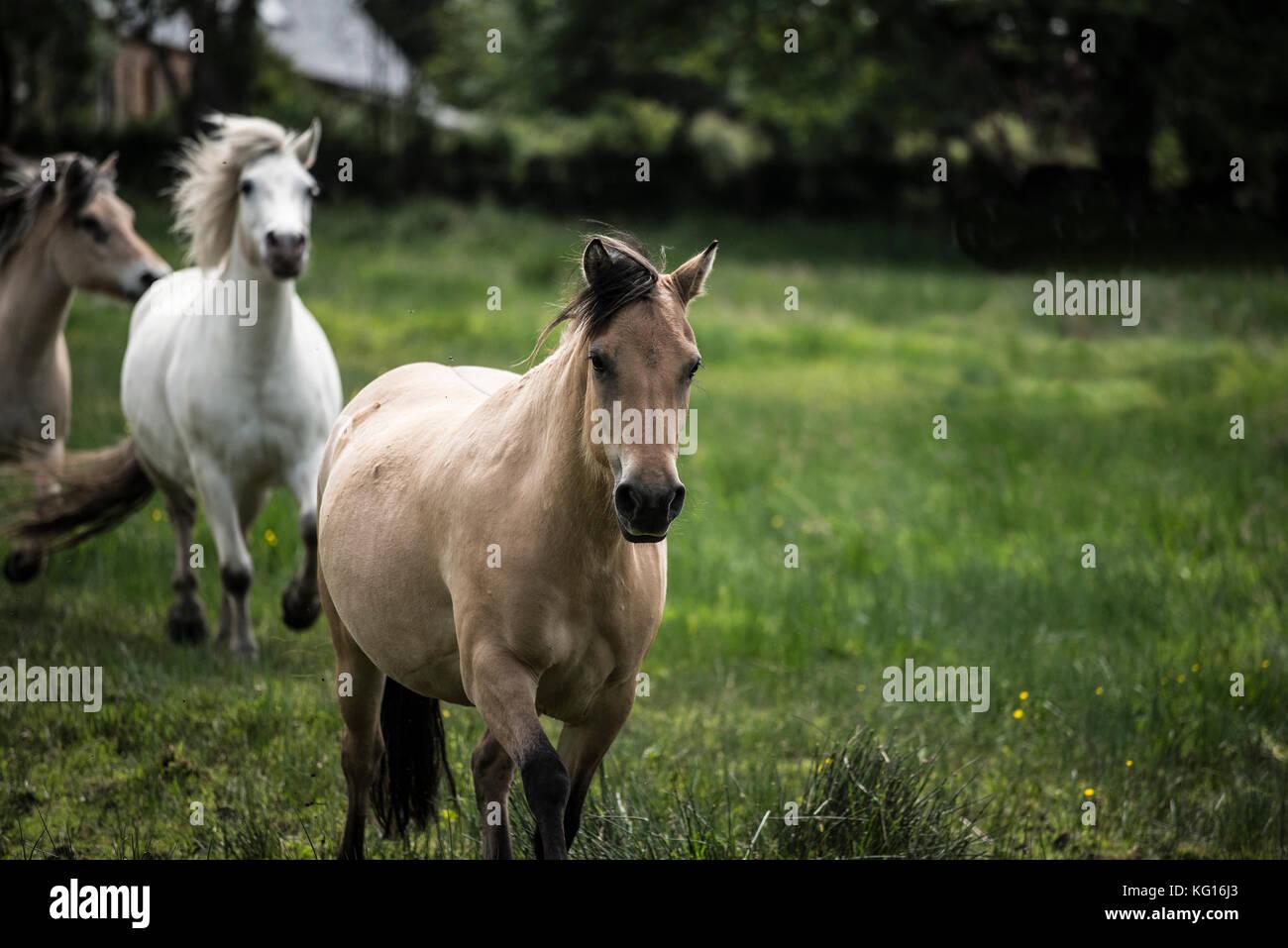 Pferde zusammen, die in der französischen Landschaft Stockbild