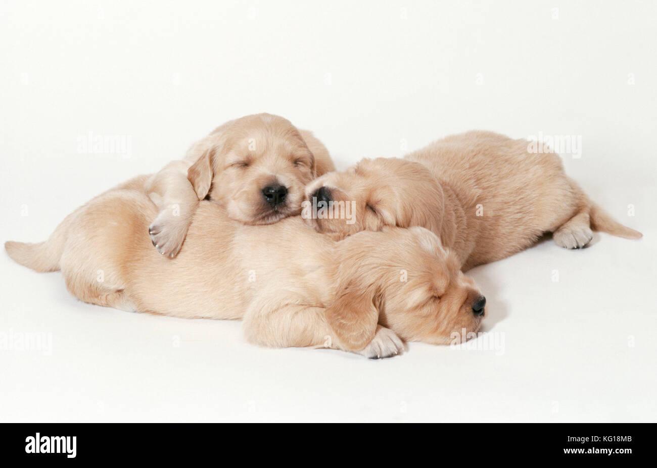 golden retriever hund welpen schlafend 3 wochen alt stockfoto bild 164756603 alamy. Black Bedroom Furniture Sets. Home Design Ideas