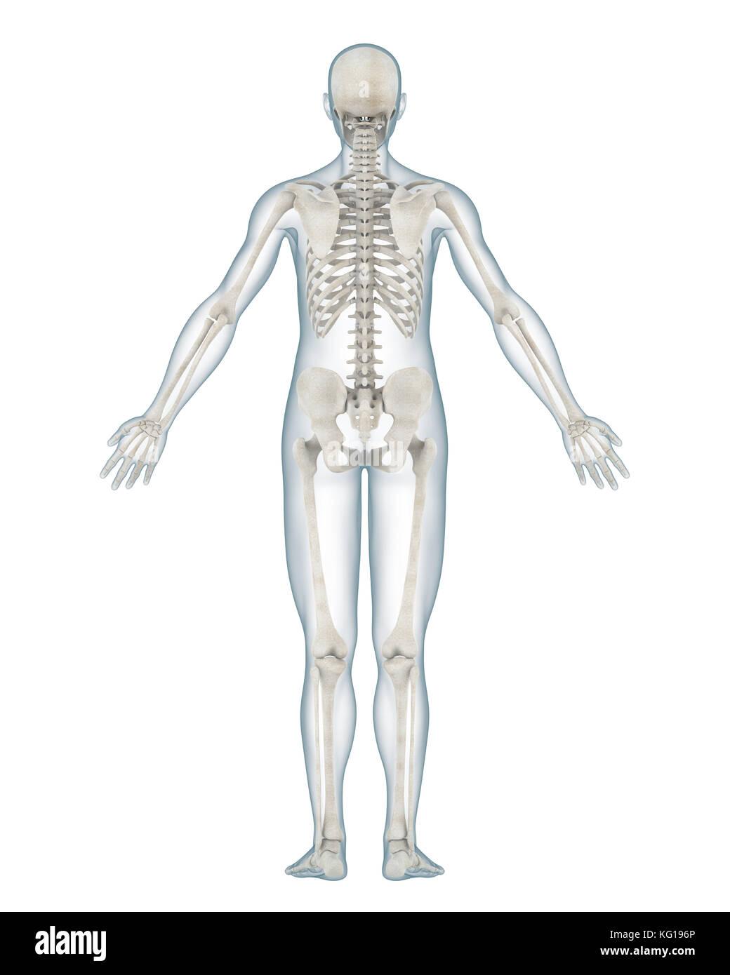 Großartig Zurück Skelettanatomie Galerie - Menschliche Anatomie ...