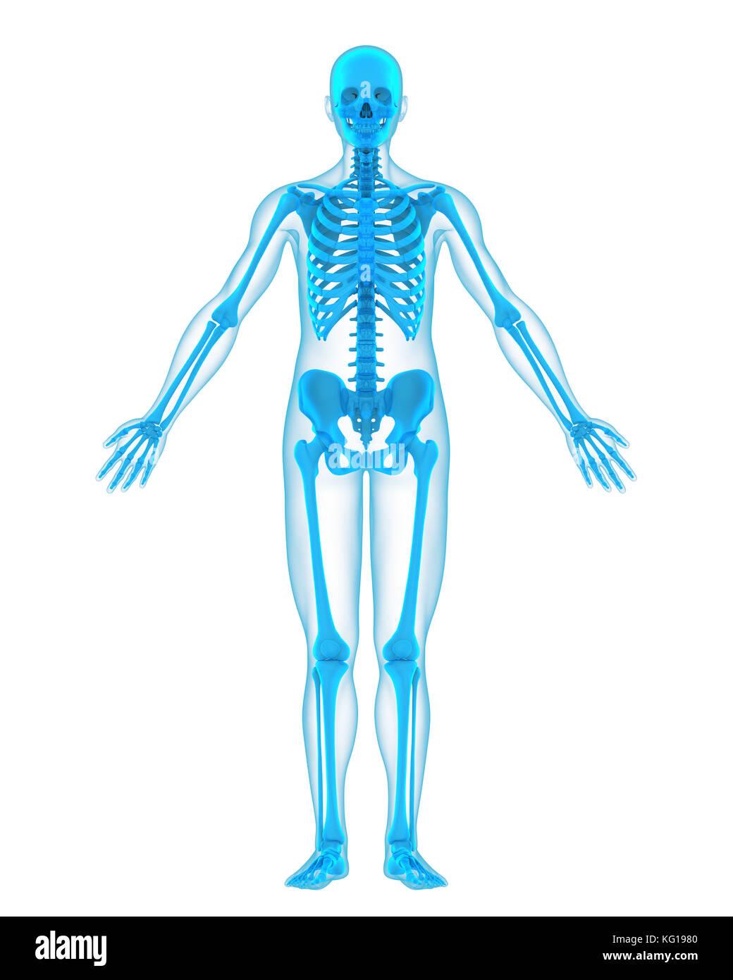 Menschliches Skelett Anatomie Stockfoto, Bild: 164757040 - Alamy
