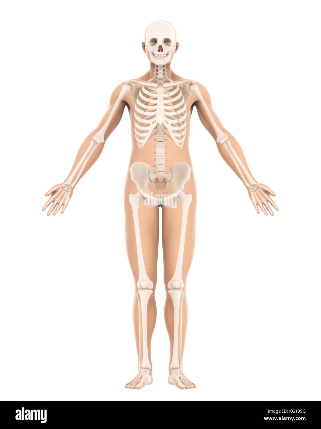 Großzügig Anatomie Und Physiologie Des Skeletts Bilder - Anatomie ...
