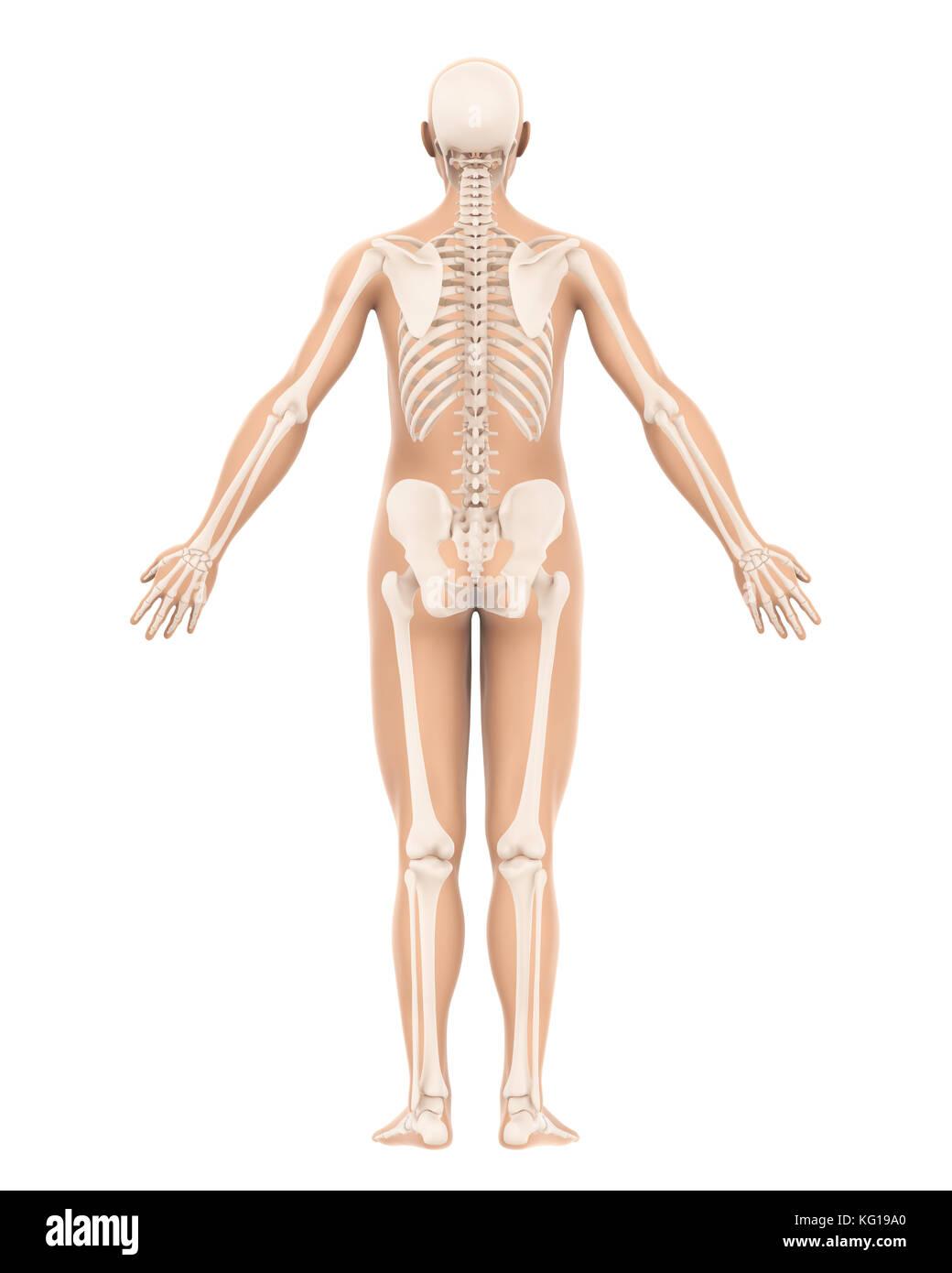 Menschliches Skelett Anatomie Stockfoto, Bild: 164757096 - Alamy