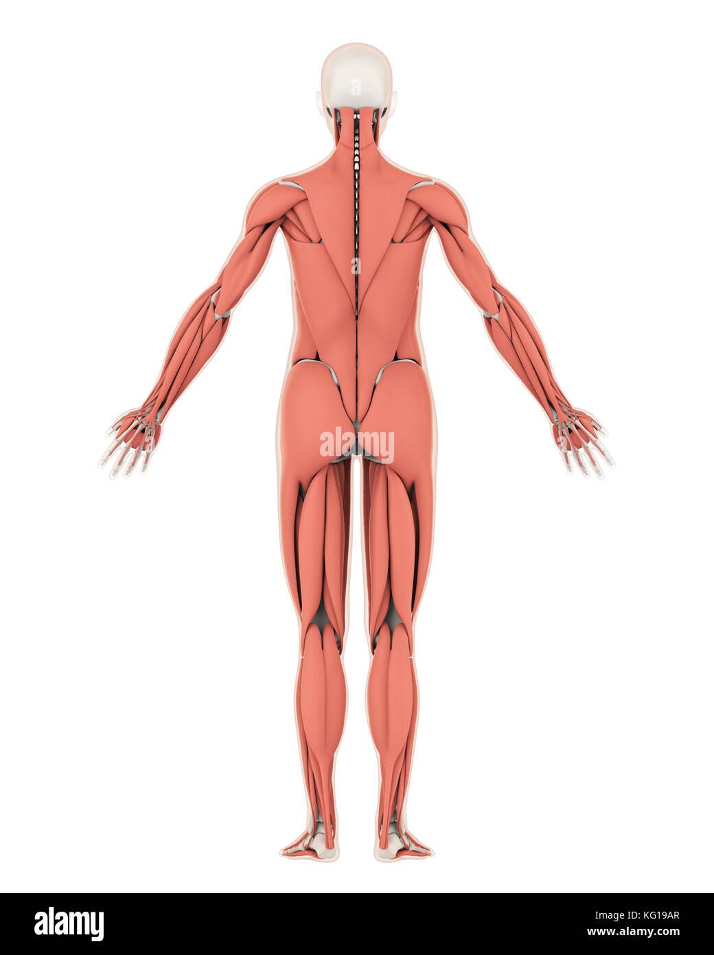 Menschliches Skelett und Muskel Anatomie isoliert Stockfoto, Bild ...