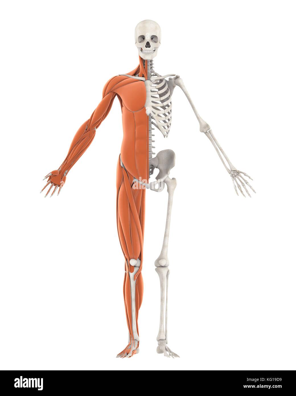 Skeletal Muscle Stockfotos & Skeletal Muscle Bilder - Alamy