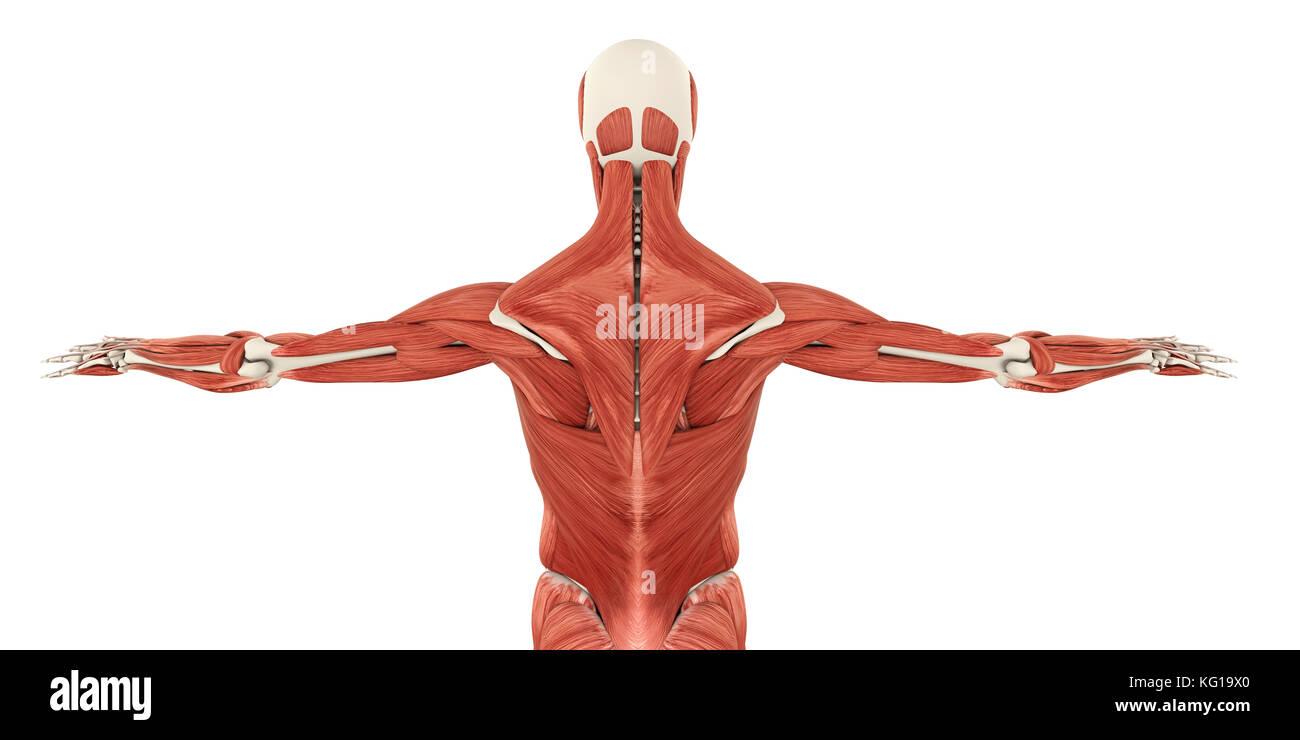 Tolle Anatomie Rückenmuskulatur Zeitgenössisch - Menschliche ...