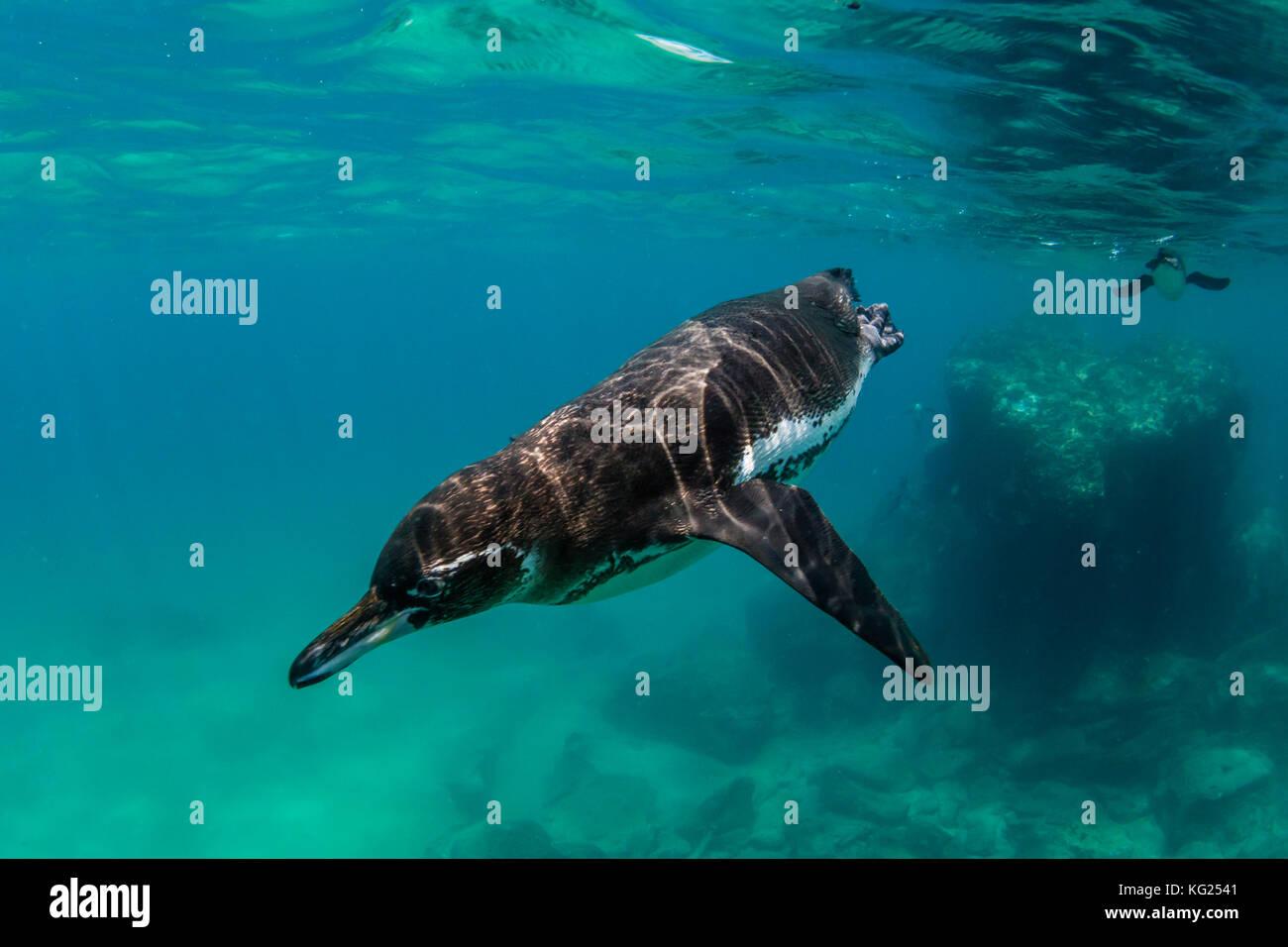 Galápagos-Pinguin (spheniscus mendiculus) Schwimmen unter Wasser bei Bartolome Insel, Galapagos, Ecuador, Südamerika Stockbild