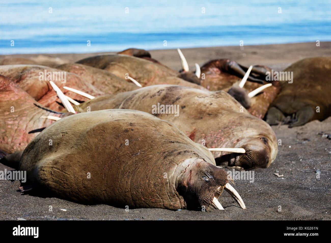 Walross (odobenus rosmarus), kapp Lee, Spitzbergen, Svalbard, Arktis, Norwegen, Europa Stockbild