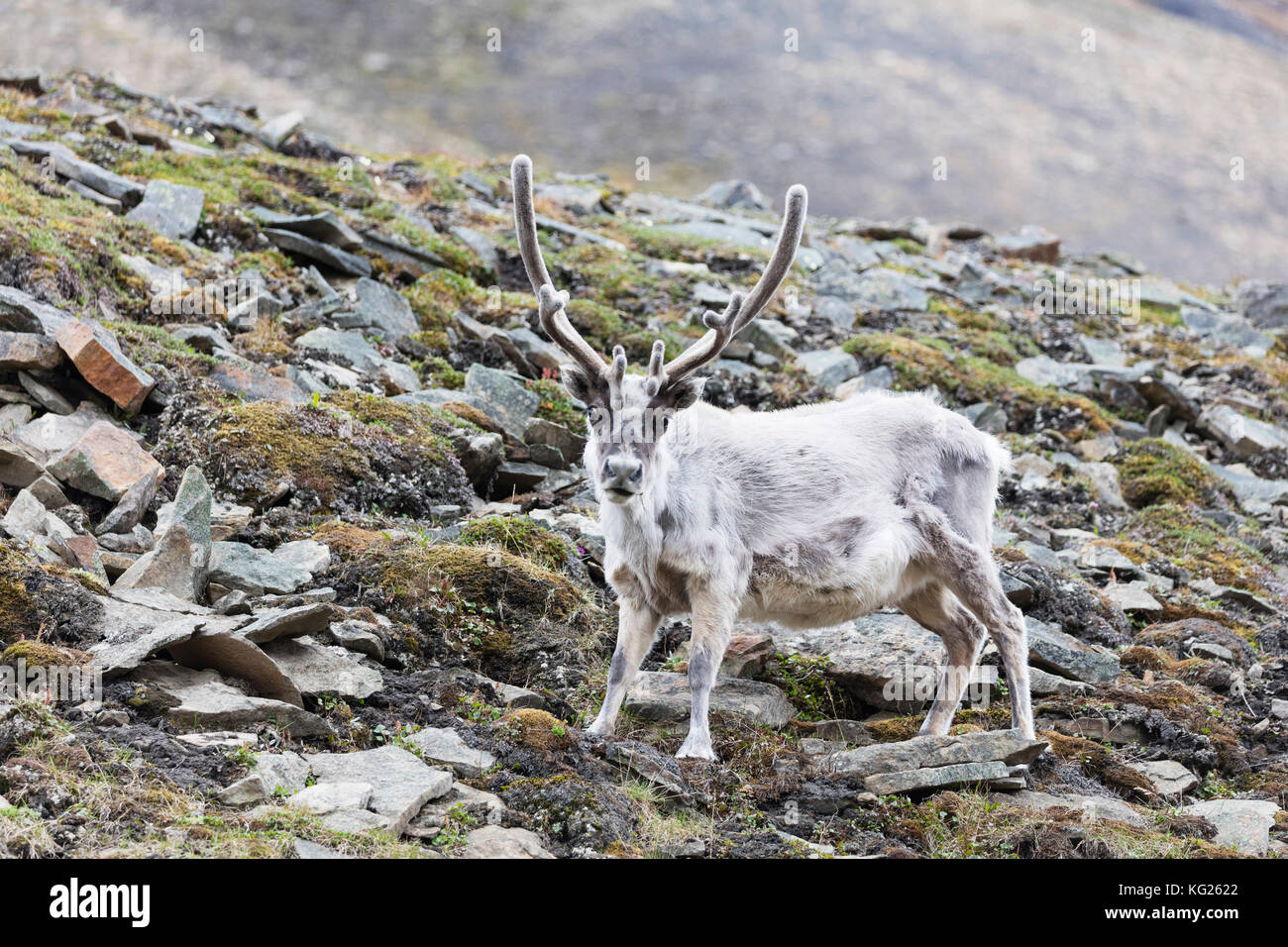 Rentiere (Rangifer tarandus), Spitzbergen, Svalbard, Arktis, Norwegen, Europa Stockbild