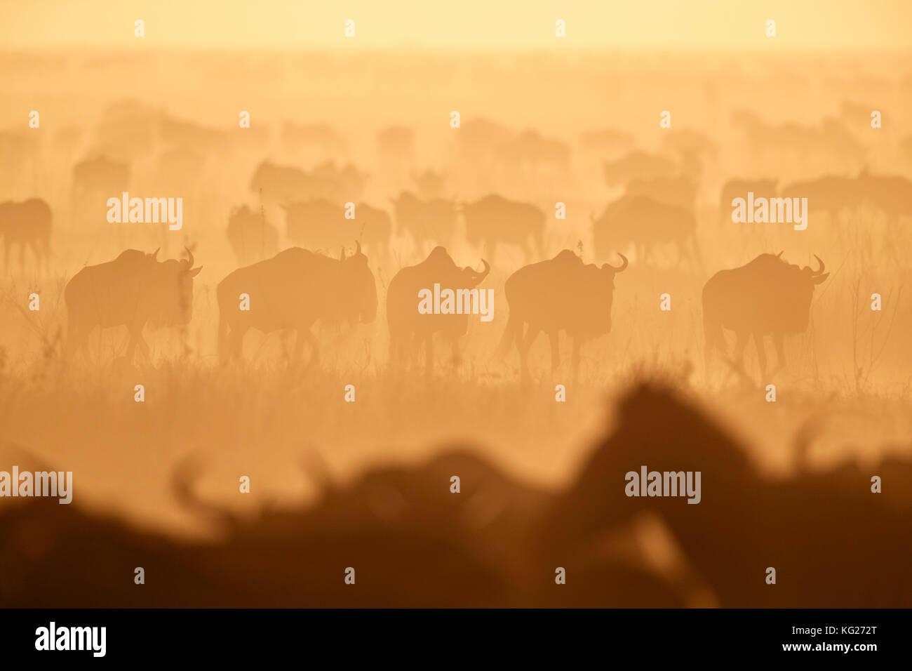 Die Migration, Streifengnu (connochaetes Taurinus) und Zebras (Equus burchelli), Serengeti National Park, Tansania, Stockfoto