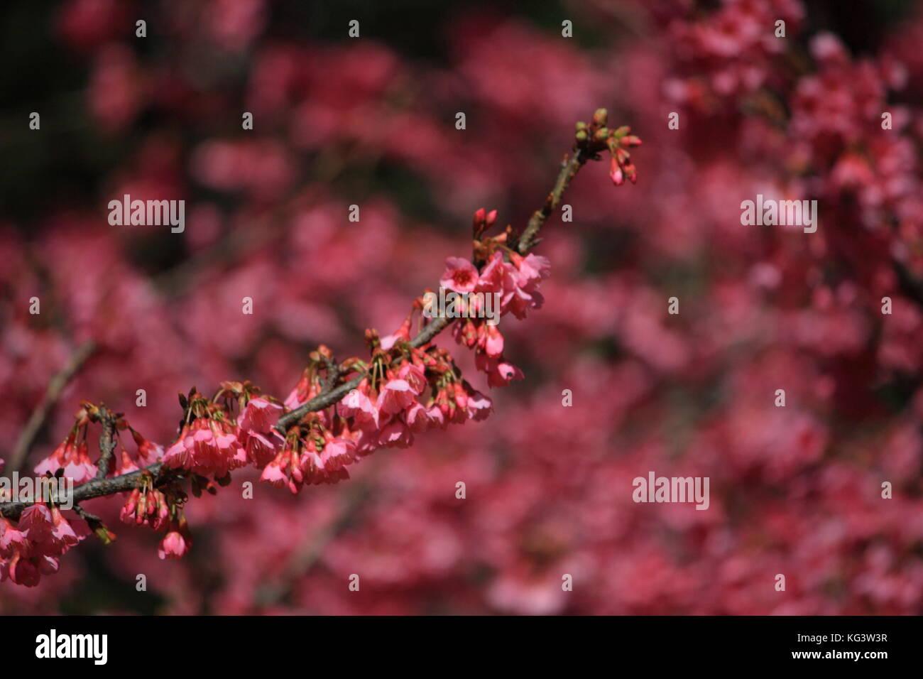 Rosa Blume. Chinesische Pflaume, Japanische Aprikose. Prunus japanische Aprikose Stockbild