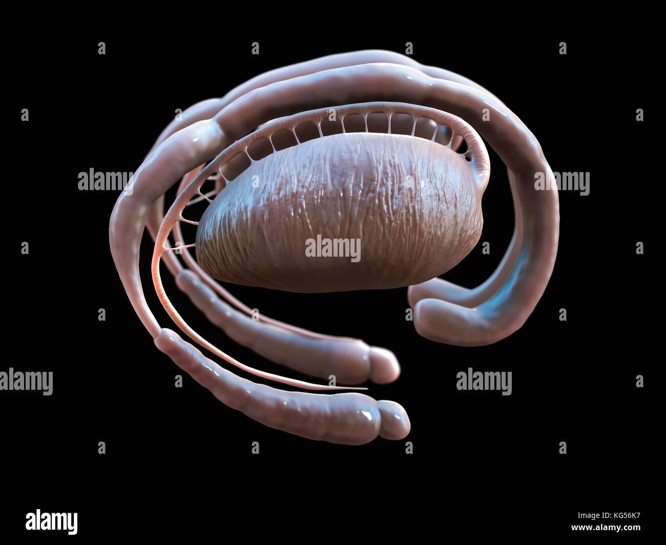 Menschliche Gehirn limbische System, Illustration Stockfoto, Bild ...