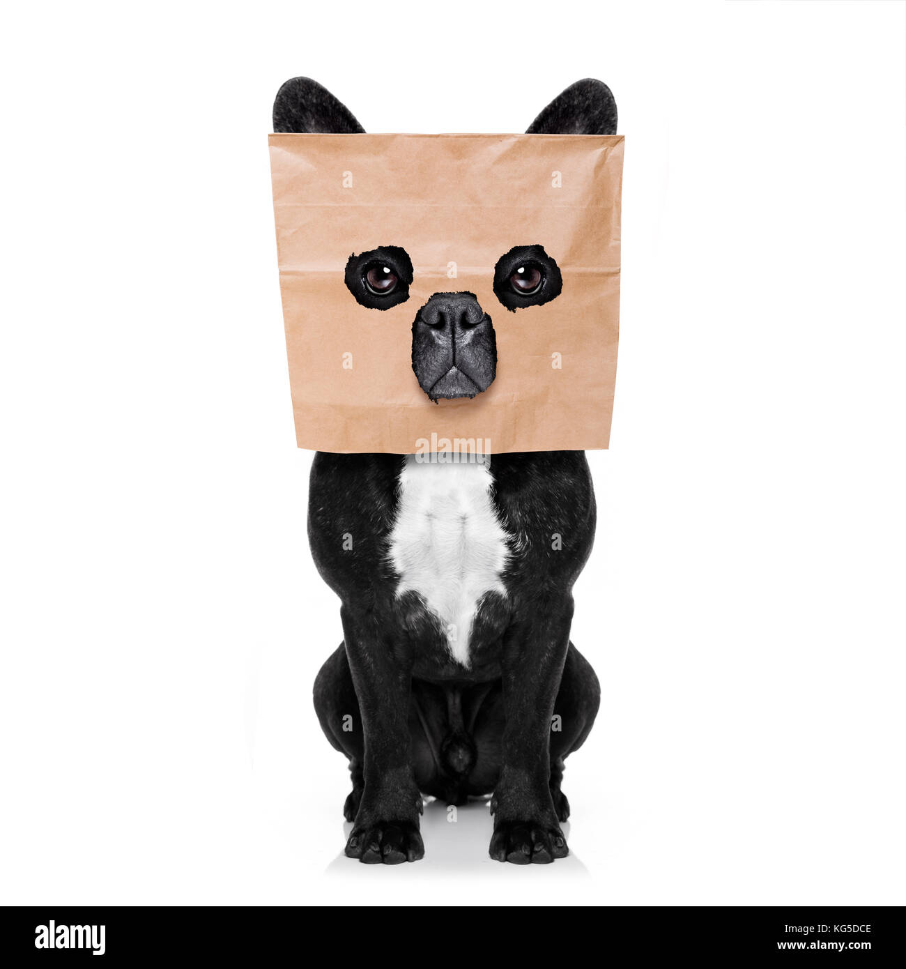 Französische Bulldogge Hund, versteckt hinter einer Papiertüte auf dem Kopf, auf weißem Hintergrund Stockbild