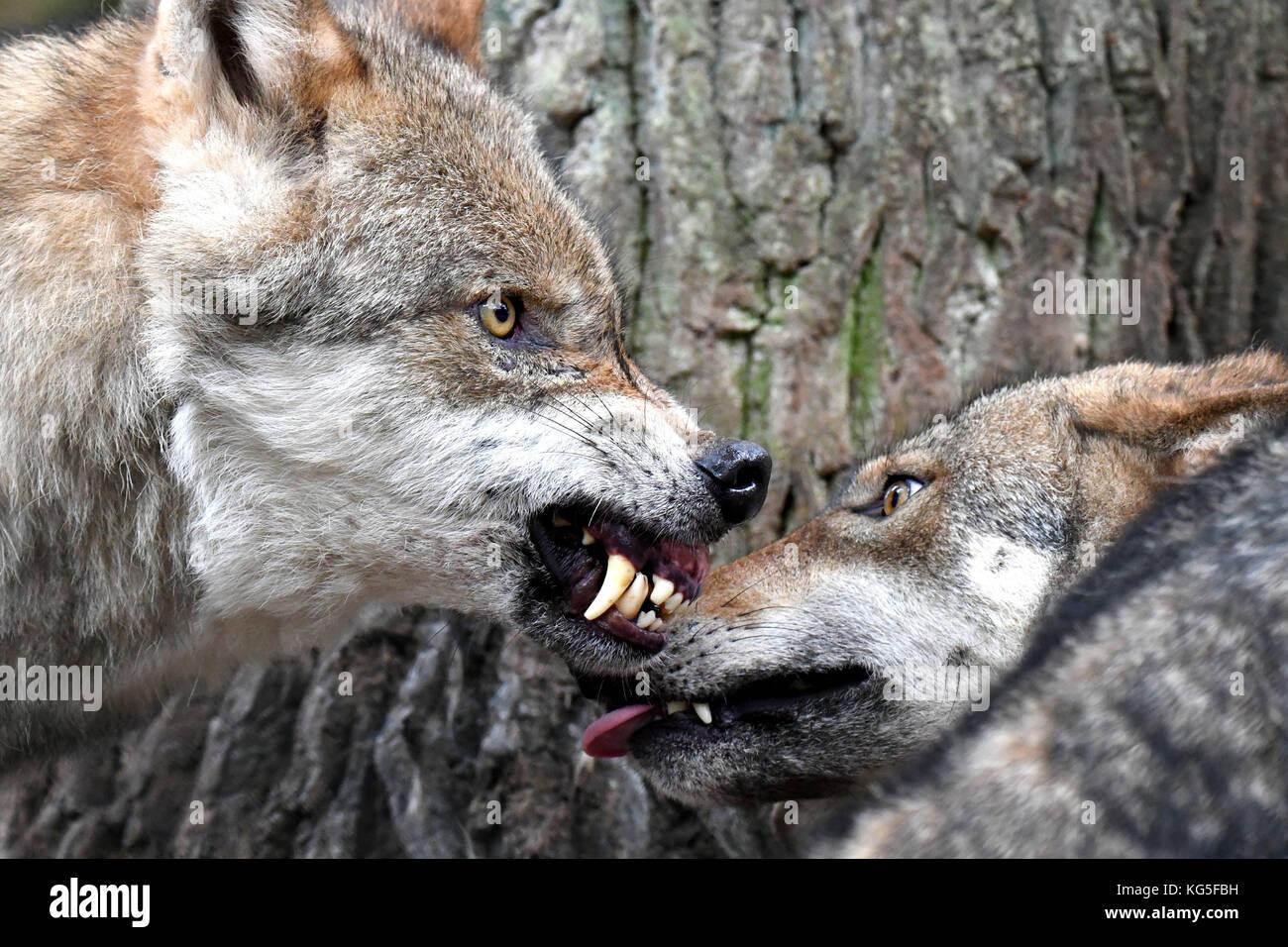 Wölfe, Canis lupus, Knurren, Zähne, bedrohliche Geste. Stockbild