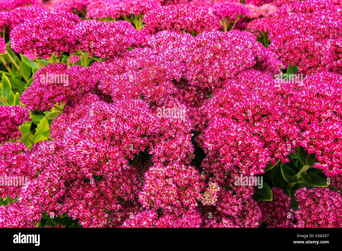 sedum stockfotos sedum bilder alamy. Black Bedroom Furniture Sets. Home Design Ideas